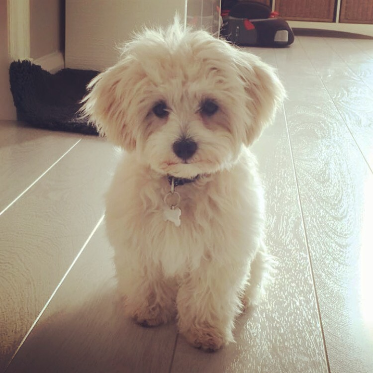 Images of maltipoo puppies for sale uk