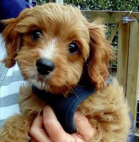 Billie - Cavapoo