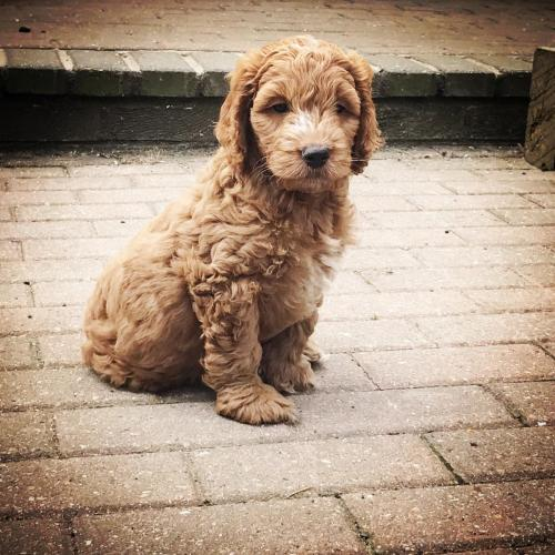 Chester - Cockapoo