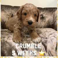Crumble - Cockapoo