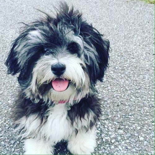 Maisie - Maltipoo