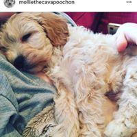 Mollie - Cavapoochon