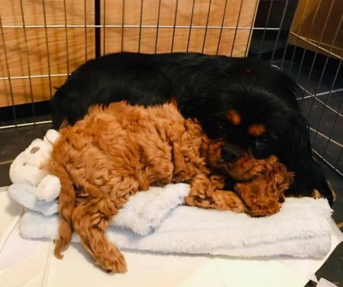 Teddy & Mum - Cavapoo